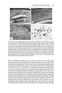 Hair Cell Regeneration, Repair, and Protection - Produktdetailbild 6