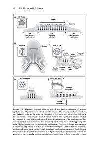 Hair Cell Regeneration, Repair, and Protection - Produktdetailbild 4