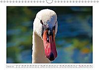 Hallo, Mister Schwan (Wandkalender 2019 DIN A4 quer) - Produktdetailbild 2
