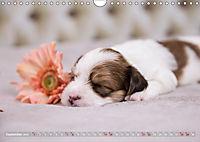 Havaneserwelpen - Kleine Herzensbrecher (Wandkalender 2019 DIN A4 quer) - Produktdetailbild 9