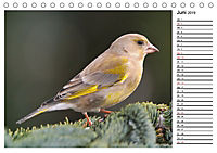 Heimische Gartenvögel Gefiederte Freunde (Tischkalender 2019 DIN A5 quer) - Produktdetailbild 6