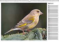 Heimische Gartenvögel Gefiederte Freunde (Wandkalender 2019 DIN A3 quer) - Produktdetailbild 6