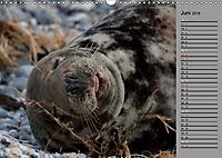 Helgoländer Kegelrobben (Wandkalender 2019 DIN A3 quer) - Produktdetailbild 6