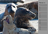 Helgoländer Kegelrobben (Wandkalender 2019 DIN A4 quer) - Produktdetailbild 2