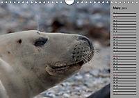 Helgoländer Kegelrobben (Wandkalender 2019 DIN A4 quer) - Produktdetailbild 3