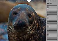 Helgoländer Kegelrobben (Wandkalender 2019 DIN A4 quer) - Produktdetailbild 5