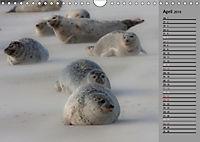 Helgoländer Kegelrobben (Wandkalender 2019 DIN A4 quer) - Produktdetailbild 4