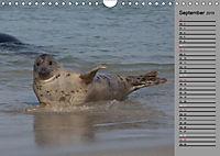 Helgoländer Kegelrobben (Wandkalender 2019 DIN A4 quer) - Produktdetailbild 9