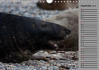 Helgoländer Kegelrobben (Wandkalender 2019 DIN A4 quer) - Produktdetailbild 12