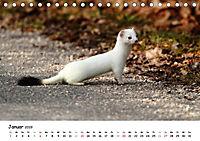 Hermelin - das wieselflinke Raubtier (Tischkalender 2019 DIN A5 quer) - Produktdetailbild 1