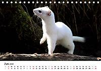 Hermelin - das wieselflinke Raubtier (Tischkalender 2019 DIN A5 quer) - Produktdetailbild 6