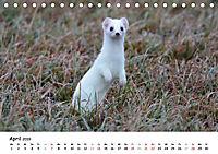 Hermelin - das wieselflinke Raubtier (Tischkalender 2019 DIN A5 quer) - Produktdetailbild 4