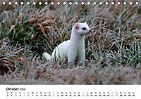Hermelin - das wieselflinke Raubtier (Tischkalender 2019 DIN A5 quer) - Produktdetailbild 10