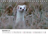Hermelin - das wieselflinke Raubtier (Tischkalender 2019 DIN A5 quer) - Produktdetailbild 9