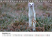 Hermelin - das wieselflinke Raubtier (Tischkalender 2019 DIN A5 quer) - Produktdetailbild 12