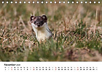 Hermelin - das wieselflinke Raubtier (Tischkalender 2019 DIN A5 quer) - Produktdetailbild 11