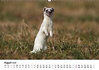 Hermelin - das wieselflinke Raubtier (Wandkalender 2019 DIN A2 quer) - Produktdetailbild 8