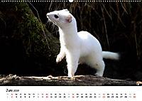 Hermelin - das wieselflinke Raubtier (Wandkalender 2019 DIN A2 quer) - Produktdetailbild 6
