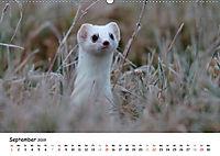 Hermelin - das wieselflinke Raubtier (Wandkalender 2019 DIN A2 quer) - Produktdetailbild 9