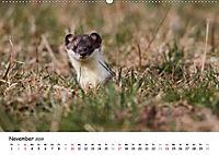 Hermelin - das wieselflinke Raubtier (Wandkalender 2019 DIN A2 quer) - Produktdetailbild 11