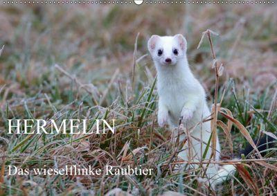 Hermelin - das wieselflinke Raubtier (Wandkalender 2019 DIN A2 quer), Günter Bachmeier