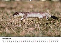 Hermelin - das wieselflinke Raubtier (Wandkalender 2019 DIN A2 quer) - Produktdetailbild 2