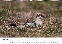 Hermelin - das wieselflinke Raubtier (Wandkalender 2019 DIN A2 quer) - Produktdetailbild 5