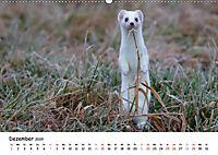 Hermelin - das wieselflinke Raubtier (Wandkalender 2019 DIN A2 quer) - Produktdetailbild 12