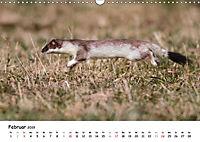 Hermelin - das wieselflinke Raubtier (Wandkalender 2019 DIN A3 quer) - Produktdetailbild 2