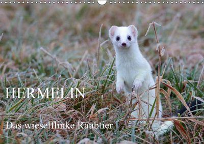 Hermelin - das wieselflinke Raubtier (Wandkalender 2019 DIN A3 quer), Günter Bachmeier
