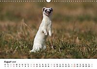 Hermelin - das wieselflinke Raubtier (Wandkalender 2019 DIN A3 quer) - Produktdetailbild 8