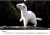 Hermelin - das wieselflinke Raubtier (Wandkalender 2019 DIN A3 quer) - Produktdetailbild 6