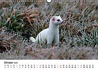Hermelin - das wieselflinke Raubtier (Wandkalender 2019 DIN A3 quer) - Produktdetailbild 10
