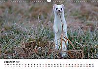 Hermelin - das wieselflinke Raubtier (Wandkalender 2019 DIN A3 quer) - Produktdetailbild 12