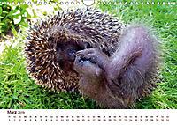 Igel 2019. Tierische Impressionen (Wandkalender 2019 DIN A4 quer) - Produktdetailbild 10