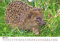 Igel 2019. Tierische Impressionen (Wandkalender 2019 DIN A4 quer) - Produktdetailbild 4