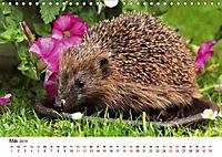 Igel 2019. Tierische Impressionen (Wandkalender 2019 DIN A4 quer) - Produktdetailbild 5