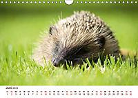 Igel 2019. Tierische Impressionen (Wandkalender 2019 DIN A4 quer) - Produktdetailbild 6