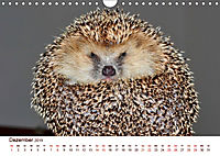 Igel 2019. Tierische Impressionen (Wandkalender 2019 DIN A4 quer) - Produktdetailbild 12