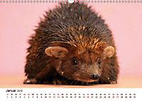 Igel 2019. Tierische Impressionen (Wandkalender 2019 DIN A3 quer) - Produktdetailbild 1