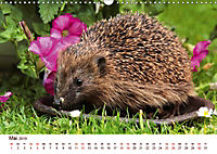 Igel 2019. Tierische Impressionen (Wandkalender 2019 DIN A3 quer) - Produktdetailbild 5