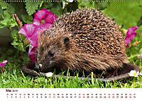 Igel 2019. Tierische Impressionen (Wandkalender 2019 DIN A2 quer) - Produktdetailbild 5