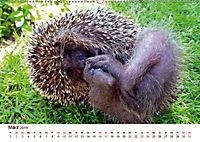Igel 2019. Tierische Impressionen (Wandkalender 2019 DIN A2 quer) - Produktdetailbild 3