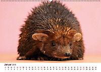 Igel 2019. Tierische Impressionen (Wandkalender 2019 DIN A2 quer) - Produktdetailbild 1