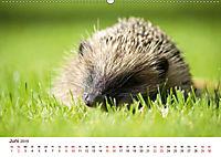 Igel 2019. Tierische Impressionen (Wandkalender 2019 DIN A2 quer) - Produktdetailbild 6