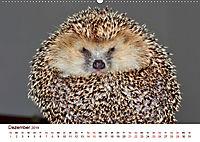 Igel 2019. Tierische Impressionen (Wandkalender 2019 DIN A2 quer) - Produktdetailbild 12