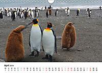Im Reich der Pinguine (Wandkalender 2019 DIN A4 quer) - Produktdetailbild 4
