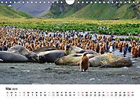Im Reich der Pinguine (Wandkalender 2019 DIN A4 quer) - Produktdetailbild 5