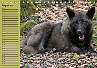 Im Rudel Zuhause - Der Wolf (Tischkalender 2019 DIN A5 quer) - Produktdetailbild 6