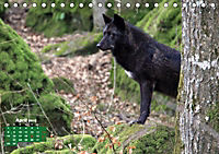 Im Rudel Zuhause - Der Wolf (Tischkalender 2019 DIN A5 quer) - Produktdetailbild 4
